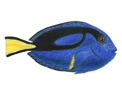 How to Draw a Royal Blue Tang Fish