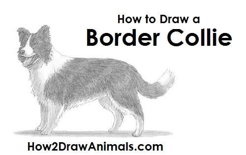 Art For Kids Hub How To Draw A Border Collie
