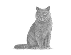 How to Draw a British Blue Shorthair Cat Sitting