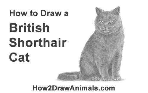 How to Draw British Blue Shorthair Cat Sitting