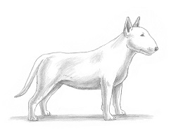 How to Draw a Bull Terrier Puppy Dog