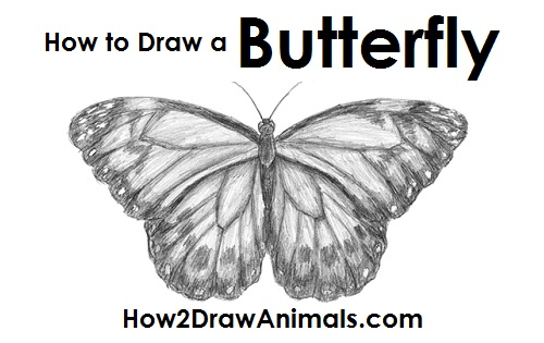 Draw Butterfly