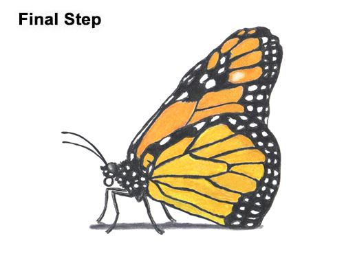 How to Draw a Monarch Butterfly Side Wings