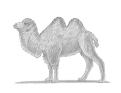 How to Draw a Camel Bactrian