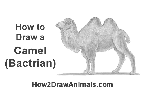How to Draw a Bactrian Camel