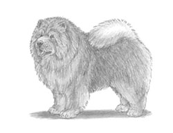 How to Draw a Chow Chow Dog