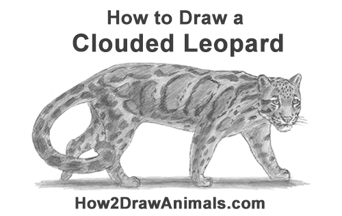 How to Draw a Clouded Leopard