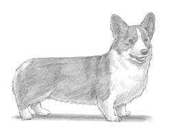 How to Draw a Welsh Corgi Dog