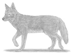How to Draw a Coyote