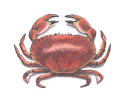 How to Draw a Brown Edible Crab