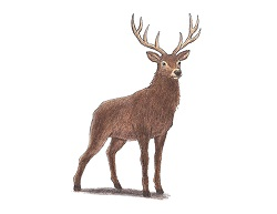 How to Draw a Noble Deer Stag Buck Color