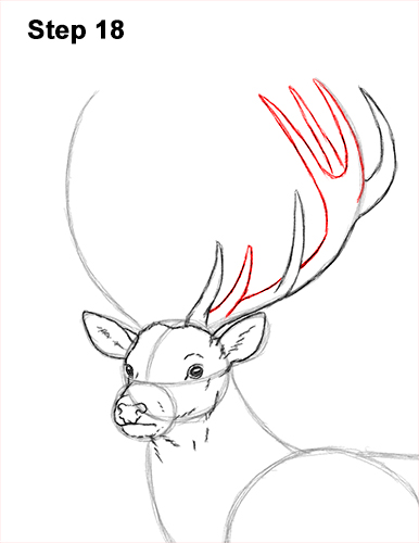 How to Draw a Red Deer Buck Stag Antlers 18