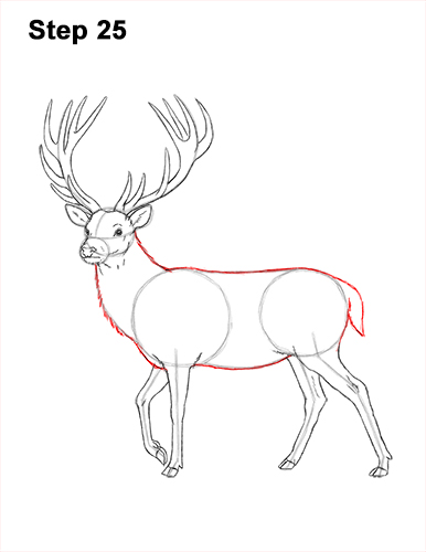 How to Draw a Red Deer Buck Stag Antlers 25
