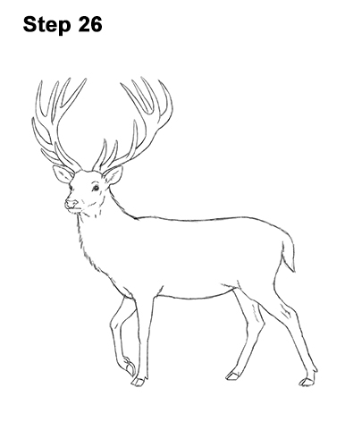 How to Draw a Red Deer Buck Stag Antlers 26