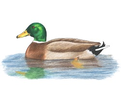 How to Draw a Color Mallard Duck Swimming Water