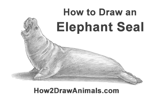 How to Draw Big Elephant Seal Bull Male Roaring