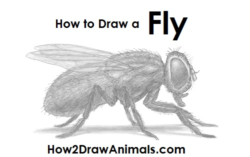 How to Draw a Fly