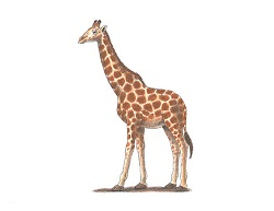 How to Draw a Giraffe Color