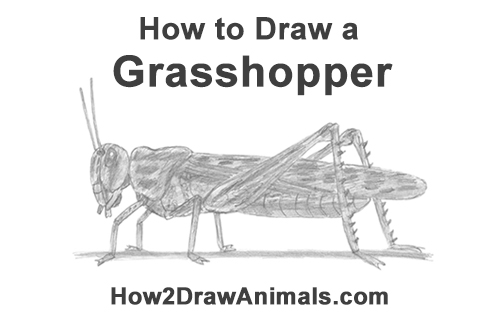How to Draw Grasshopper Insect Bug
