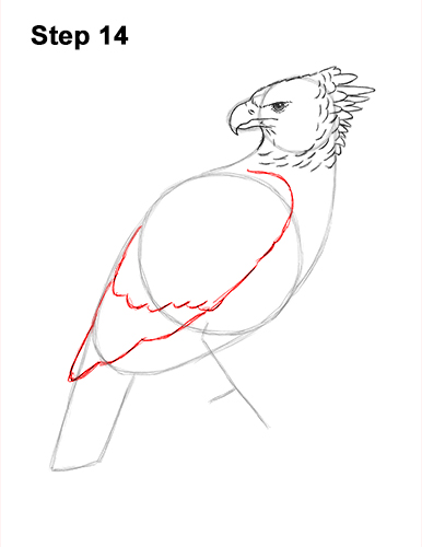 How to Draw an American Harpy Eagle Bird 14