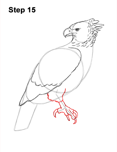 How to Draw an American Harpy Eagle Bird 15