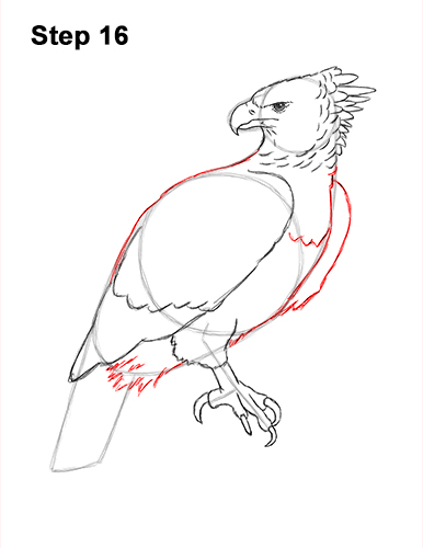 How to Draw an American Harpy Eagle Bird 16