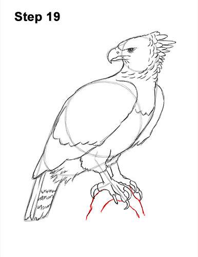 How to Draw an American Harpy Eagle Bird 19