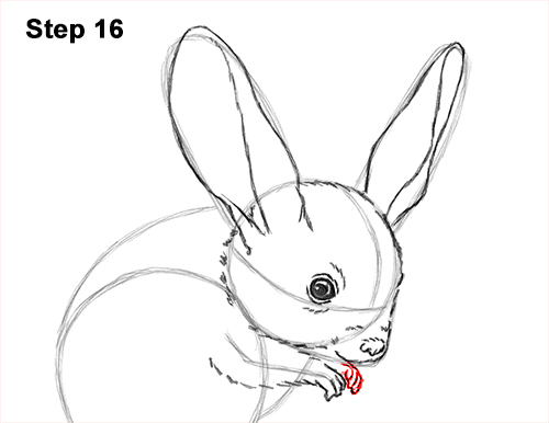 How to Draw Long-Eared Jerboa 16