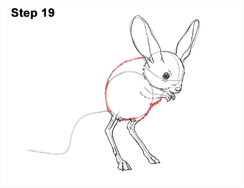 How to Draw Long-Eared Jerboa 19