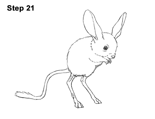 How to Draw Long-Eared Jerboa 21