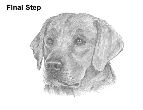 Luxury How To Draw A Black Lab Puppy Step By Step - hd ...