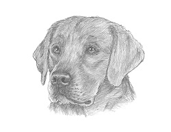 How to Draw a Labrador Retriever Dog Head Portrait