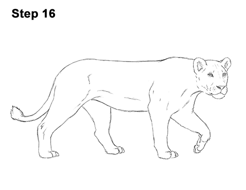 Draw Female Lion 16