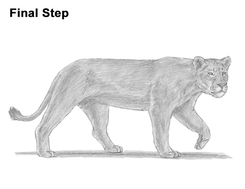 Draw Female Lion