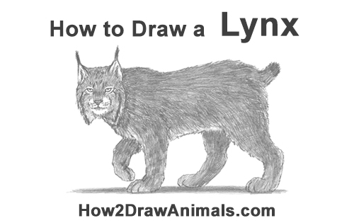 How to Draw Canada Lynx Cat Bobcat Wildcat