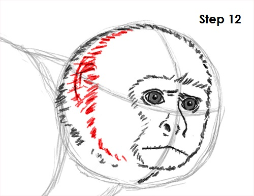 Draw Capuchin Monkey 12
