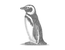 How to Draw a Magellanic Penguin