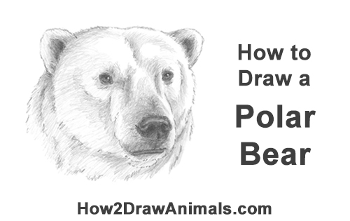 How to Draw a Polar Bear Portrait Head Face
