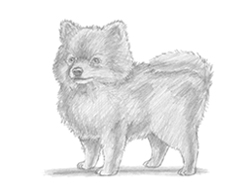 How to Draw a Pomeranian Dog