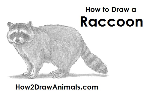 Draw Raccoon