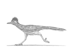 How to Draw a Greater Roadrunner Running
