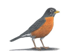 How to Draw an American Robin Bird