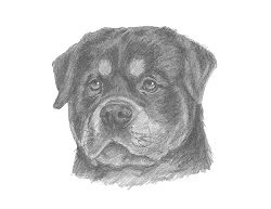 How to Draw a Rottweiler Dog Head Detail Portrait