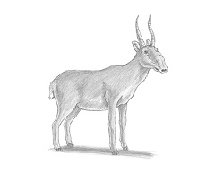 How to Draw a Saiga Antelope