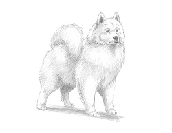 How to Draw a White Samoyed Puppy Dog