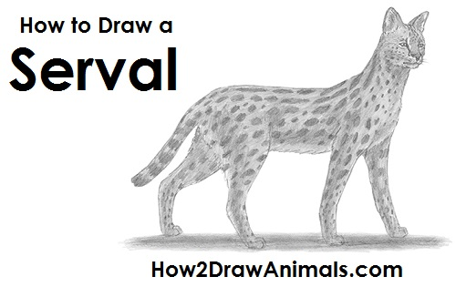 How to Draw a Serval