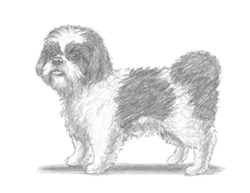 How to Draw a Shih Tzu Puppy Dog