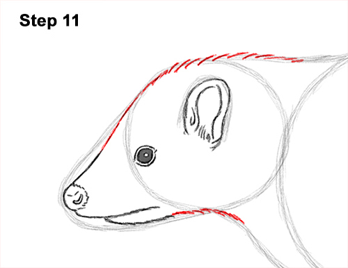 Draw Striped Skunk 11
