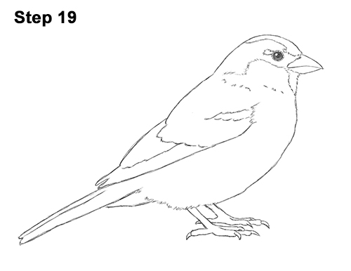How To Draw A Sparrow