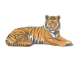 How to Draw a Tiger Laying Down Side Color
